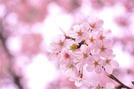 万博記念公園桜