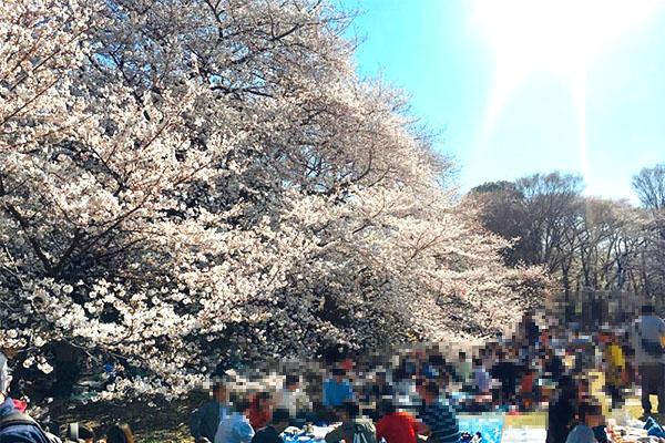 砧公園の桜