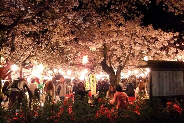 円山公園の桜混雑