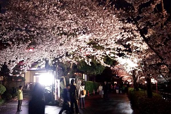 八鶴湖の桜の見どころ