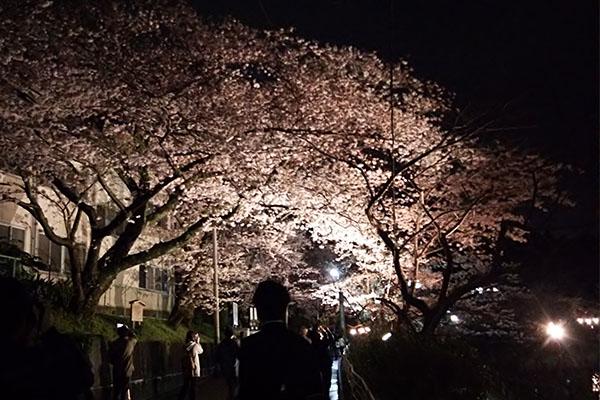 八鶴湖の桜