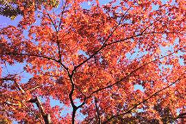 箱根、強羅公園の紅葉情報