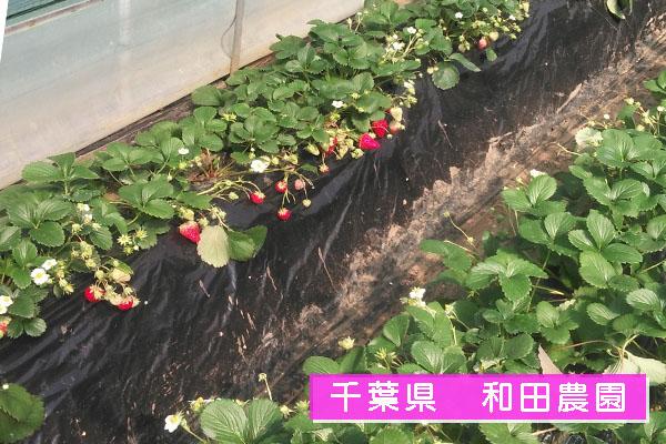 千葉 和田農園 いちご狩り