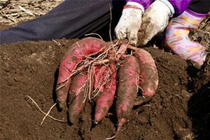 芋掘りしたさつまいもの保存方法は?