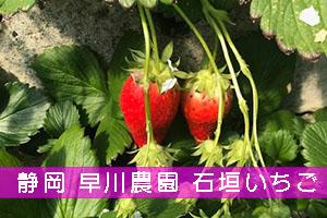 イチゴ狩り 静岡県早川農園の口コミ