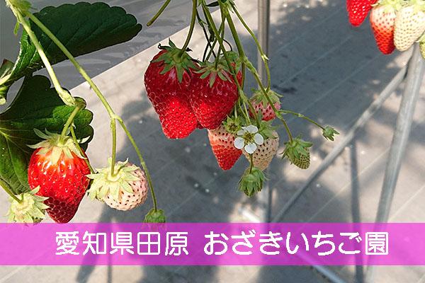 おざきいちご園 イチゴ狩り