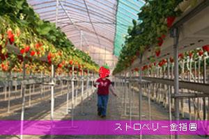 静岡県東伊豆 いちご狩りでおすすめのストロベリー金指園にいってきた!