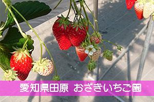 愛知県田原市でイチゴ狩り!おざきいちご園
