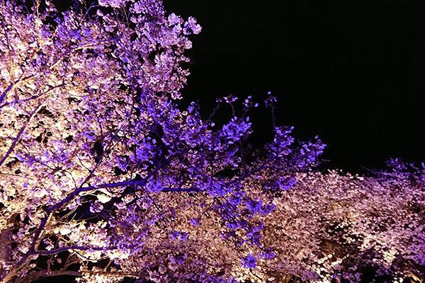 福岡県舞鶴公園 桜のライトアップ