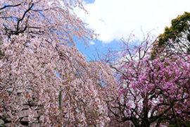 福岡県 舞鶴公園 桜